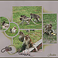 Les macaques (suite)