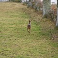 Chevreuil en fuite, sermur