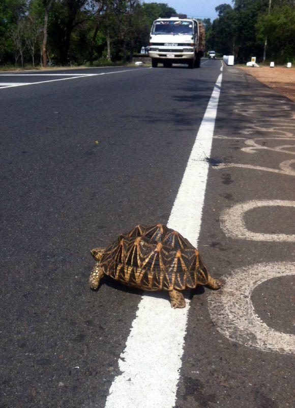 Sri Lanka tortue copie