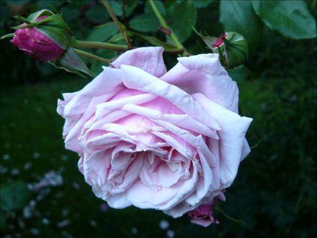 rosa 7