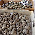 16 aout - le meilleur placement de l'année....pas besoin de banque....juste de pommes de terre germées