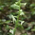 platanthére-verdatre-