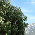 Eucalyptus camaldulensis