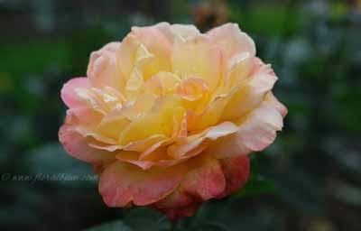 Rosa 'Waverland'400