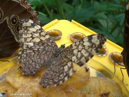 Hamadryas februa • Nymphalidae