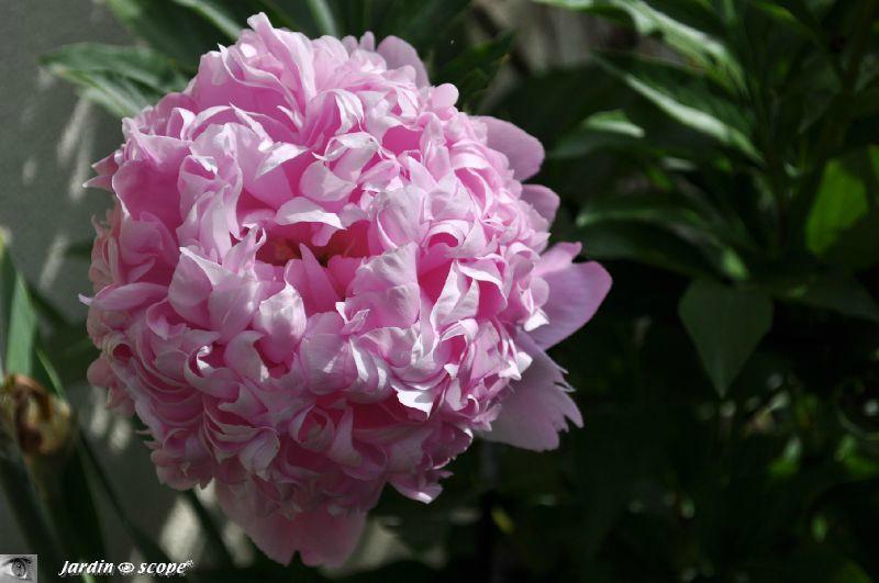Paeonia lactiflora Mr Jules Elie
