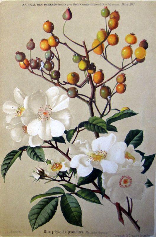 Rosa Polyantha Grandiflora