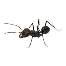 la-fourmi-noir-pest-control-maroc