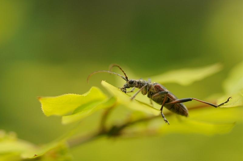 longicornes - rhagium mordax hc