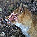 [grif' en peine] les renards sont définitivement condamnés!