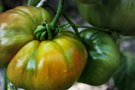 tomate_1