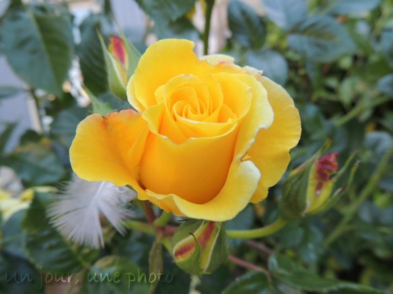 && rose jaune