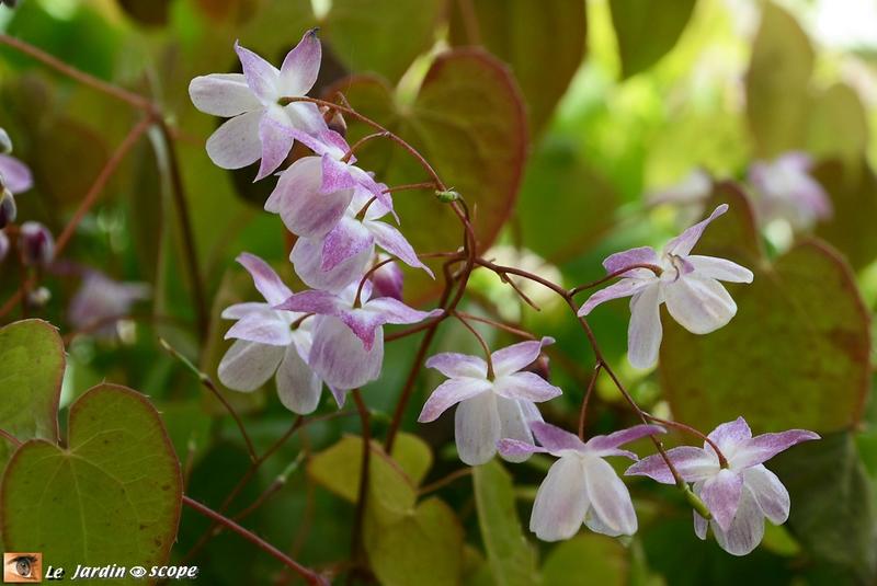 Epimedium-Hina-Matsuri