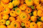 renoncules_oranges_2