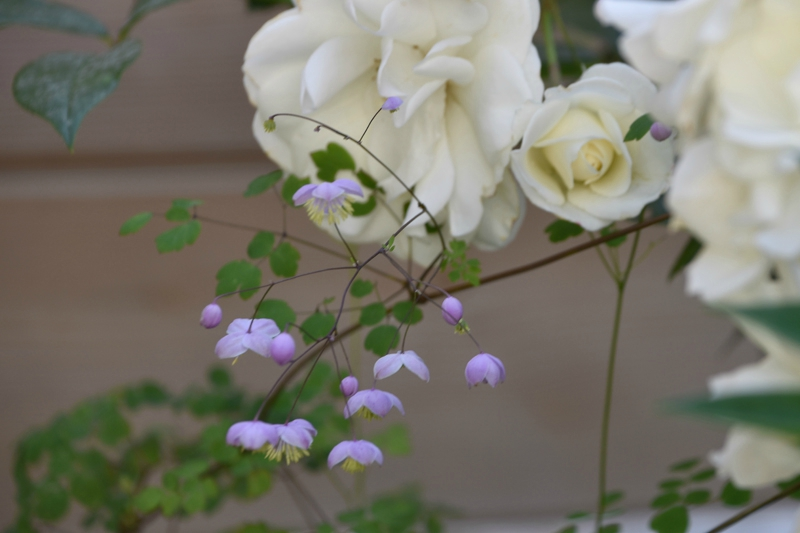 rosier iceberg + thalictrum splendide