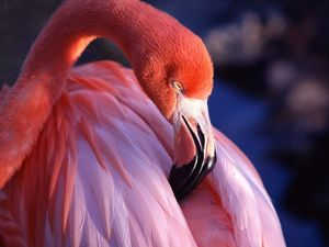 flamant_rose_01