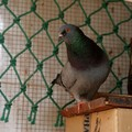 pigeon male