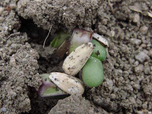 2008 05 14 Des graines de tournesol qui germent