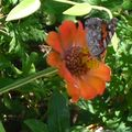 Série de papillons dans le jardin de la pension de Selimiye