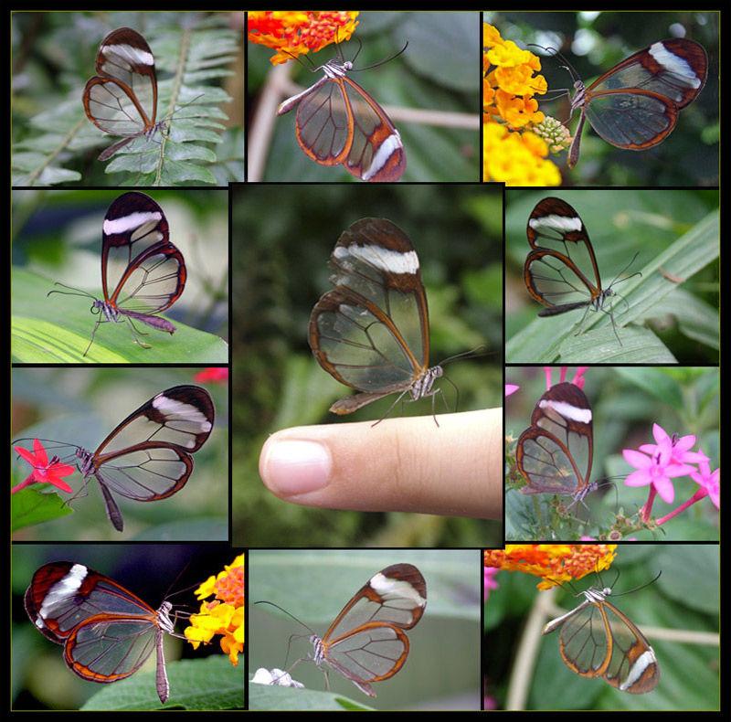 papillons transparent
