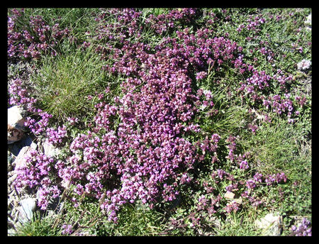 fleurs_de_montagne2