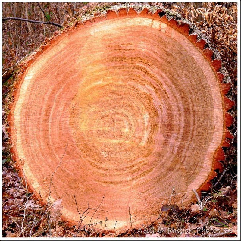 Coupe transversale d'un tronc de chêne