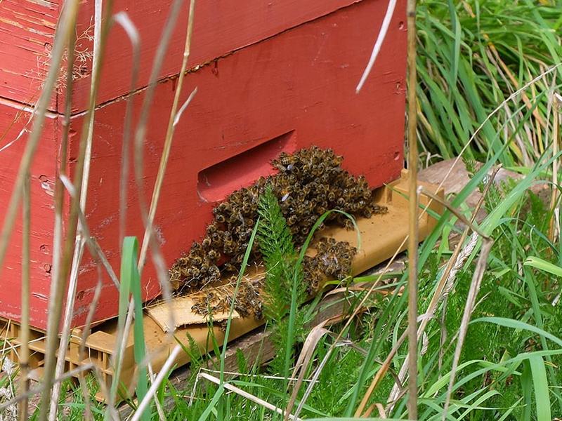 Abeilles qui defendent l'entrée de la ruche/ frelons
