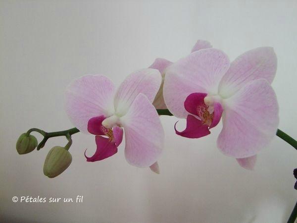 orchidée8 aout17