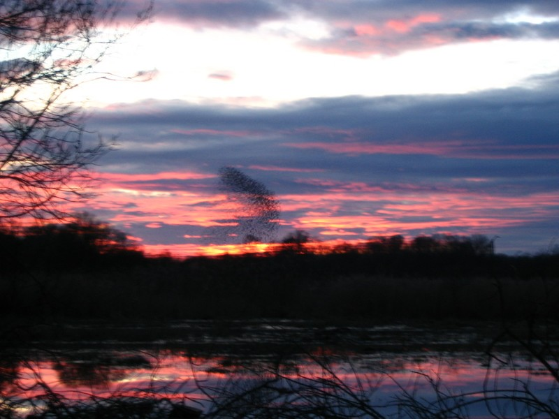 Etang Landes - Décembre 2006 Etourneaux