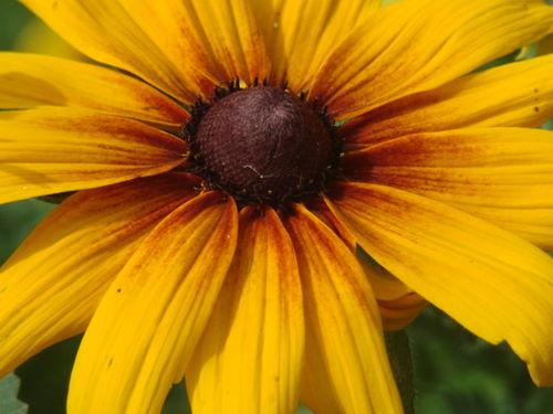 2008 09 11 Un zoom sur une fleur de rudbeckia
