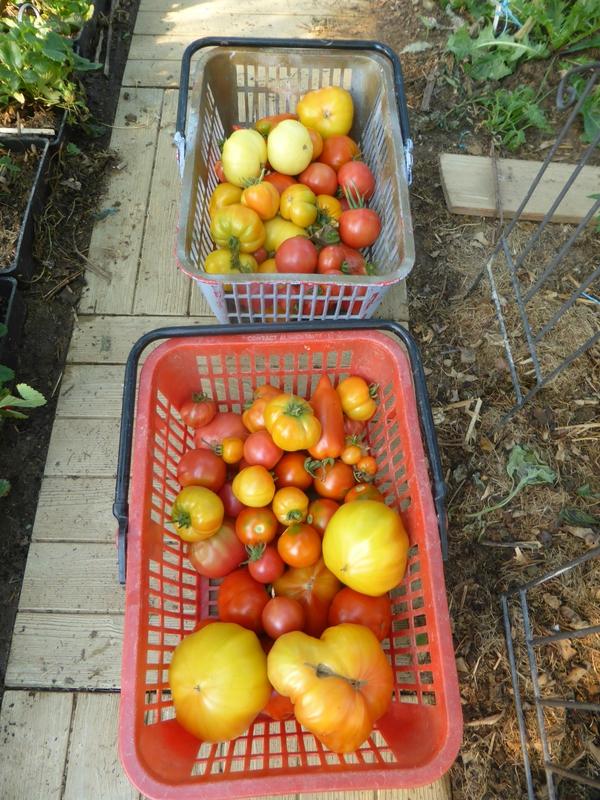 17-tomates (2)
