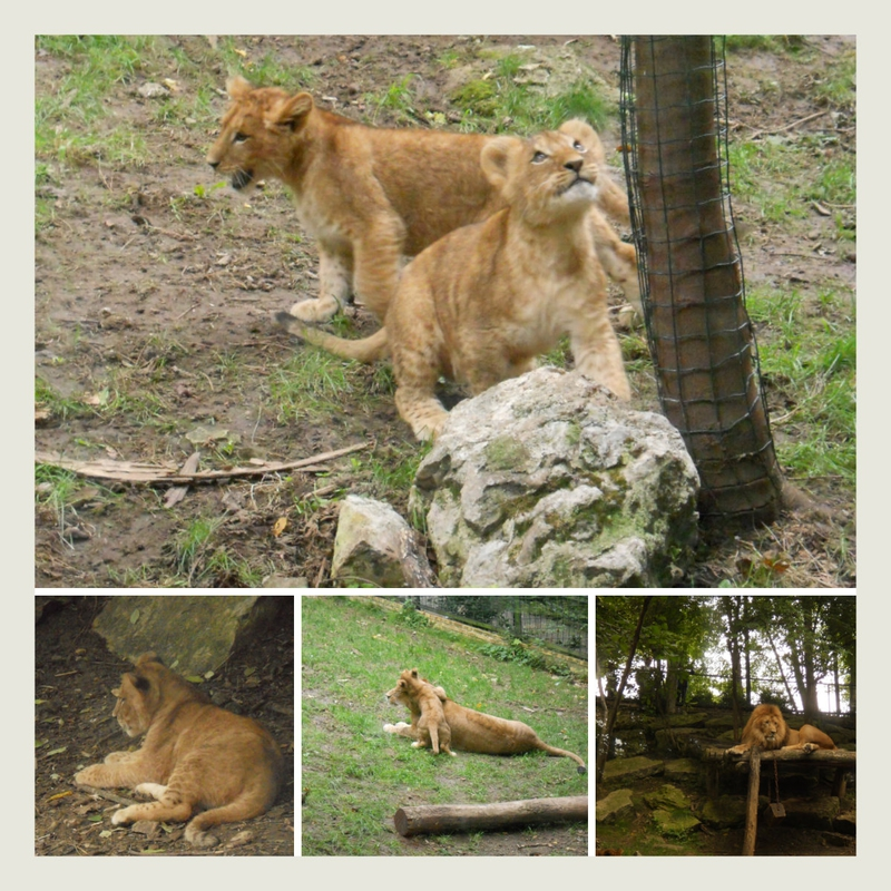 Lions Zoo de Beauval
