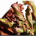 Chénopode rouge