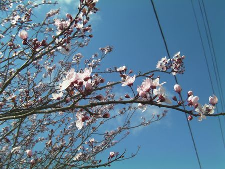 prunus en fleurs 002