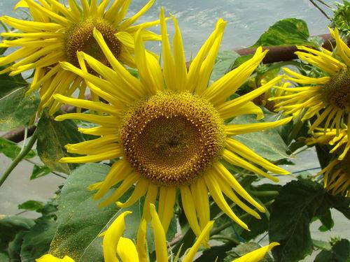 2008 08 02 Un tournesol en fleur sous serre