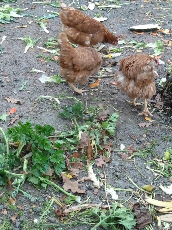 NOV-14-28nov2012-poules et céléri rave (32)