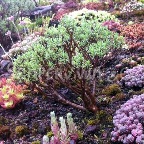 crassula-sarcocaulis-plante-succulente-rustique