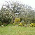 le cerisier centenaire