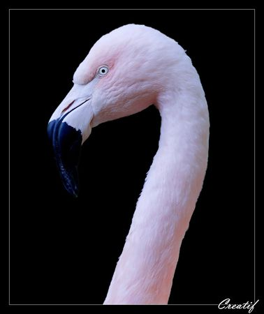flamand rose fond noir