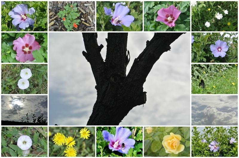 Mon jardin tout simplement Rose63