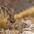 Bouquetins : capra ibex