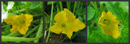 courgettes29082010
