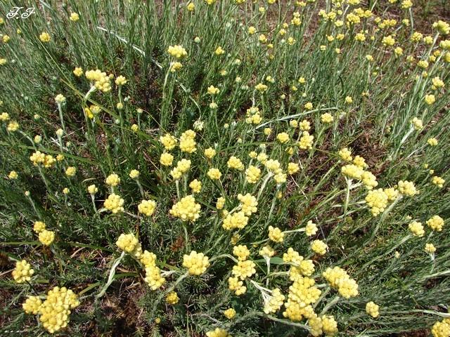 Plantes et fleurs de la dune oleron nature faune flore regions for Fleurs et plantes