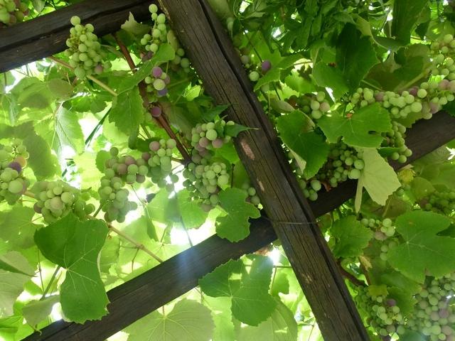 treille-bois-vigne