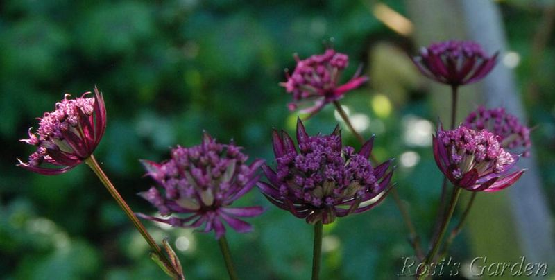 Astrantia ' Ruby Star'