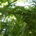 Metasequoia glypstroboides