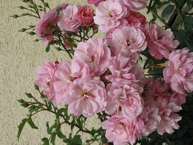 rose rose d la roue 2010 06 09 (3-20%