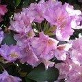 La symphonie pastorale des rhododendrons et azalées