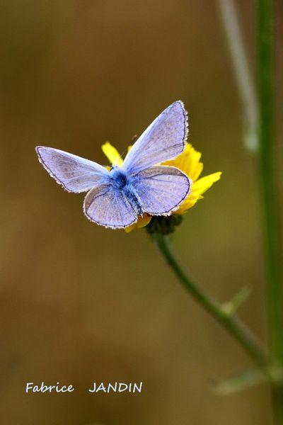 L'argus bleu2
