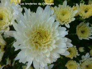 Chrysanthèmes (7)